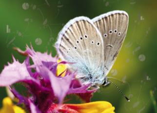 Betydelsen av kraftledningsgator, skogsbilvägar och naturbetesmarker för fjärilar