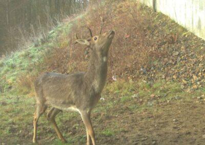 Tvekande hjortdjur – studie av två passagers effektivitet