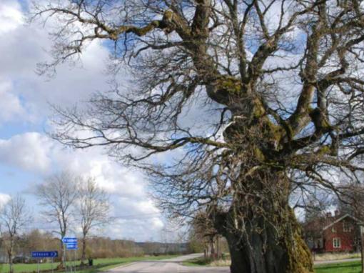 Vägarnas träd – om trädens skötsel, värdefulla strukturer och följearter